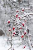 Rose, Beere, frisch, eingefroren, gesund, Frost, natürlich Lizenzfreie Stockbilder
