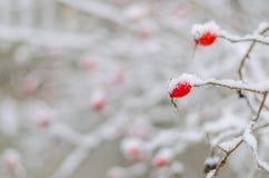 Rose, Beere, frisch, eingefroren, gesund, Frost, natürlich Lizenzfreies Stockfoto