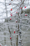 Rose, Beere, frisch, eingefroren, gesund, Frost, natürlich Stockfotografie