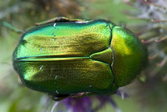 Rose-beetle Stock Photo