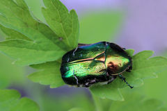 The rose beetle Stock Photography