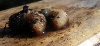 Rose beetle larvae Royalty Free Stock Images