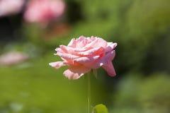 Rose bei Merrick Rose Garden Stockfotos