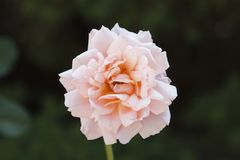 Rose bei Merrick Rose Garden Lizenzfreies Stockfoto