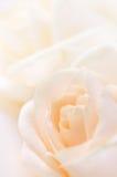 Rose beige fragili Immagine Stock Libera da Diritti