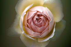 Rose beige. Beige soft rose close-up on blurred background Stock Photography