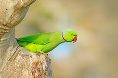 Rose-beringter Sittich, Psittacula krameri, schöner Papagei im Naturgrün-Waldlebensraum, Sri Lanka, Asien Papagei, wild lebende T stockfoto