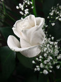 Rose bianche. Fotografia Stock
