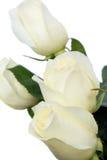 Rose bianche Fotografie Stock Libere da Diritti