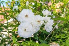 Rose bianche con l'ape immagini stock