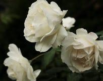 Rose bianche con le goccioline di acqua dopo pioggia immagini stock libere da diritti