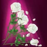 Rose bianche di caduta Immagine Stock Libera da Diritti