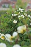 Rose bianche e gialle Immagini Stock