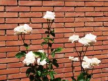 Rose bianche e muro di mattoni fotografia stock
