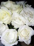 Rose bianche fresche Fotografia Stock Libera da Diritti
