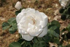 Rose bianche meravigliose Immagine Stock Libera da Diritti