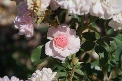Rose bianche meravigliose Fotografie Stock Libere da Diritti