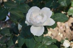 Rose bianche meravigliose Fotografia Stock