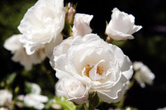 Rose bianche sull'isola/Germania di Mainau immagini stock libere da diritti