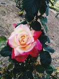 Rose bicolor. Big rose with different colors Stock Photography
