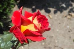 Rose bicolor roja y amarilla brillante Imagen de archivo libre de regalías