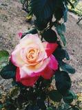 Rose bicolore Photographie stock