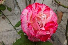 Rose bicolore rose-foncé et blanche Images stock