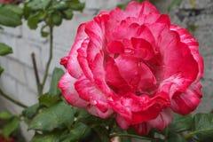 Rose bicolore rose-foncé et blanche Photographie stock libre de droits