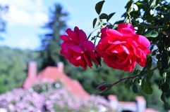 A rose in the Biltmore garden. A bright rose set in front of a house in the Biltmore gardens Stock Photo