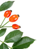 rose biodra Zdjęcie Stock