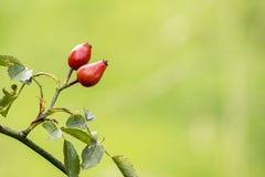 rose biodra Obraz Stock