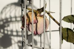 Rose in birds cage. Dying rose in birds cage Stock Photo