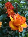 Rose blüht stockfotografie