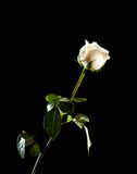 Rose on black Stock Photography