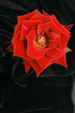 Rose on black. Red rose isolated on black back drop from a top view Royalty Free Stock Photography