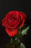 Rose On Black Background Photos stock