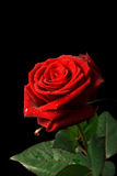 Rose on black background with copyspace Royalty Free Stock Photo