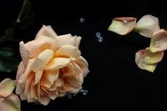 Rose on black background Royalty Free Stock Images