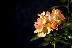 Rose with black blurred background Stock Image