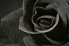 Rose. A Black and white rose Royalty Free Stock Photography