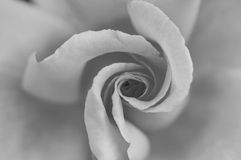 Rose. In black and white Stock Image