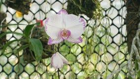 Rose blanc d'orchidée de mite de Phalaenopsis ou Phal, le genre fleur d'usine de fleur de Phalaenopsis, développement de beaucoup photo libre de droits