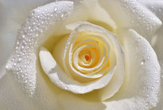 Rose blanca Imagen de archivo libre de regalías