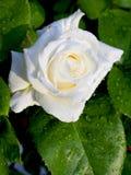 Rose blanca Imágenes de archivo libres de regalías