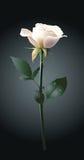 Rose blanca Ilustración del Vector
