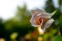 Rose blanca con encendido un fondo de un arbusto verde Fondo borroso primer de Rose blanca imagenes de archivo