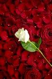 Rose blanca en los pétalos rojos Imagen de archivo