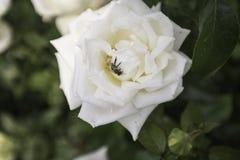 Rose With blanca una abeja Foto de archivo