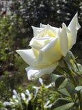 Rose blanca - una flor de la admiración y de la adoración imágenes de archivo libres de regalías