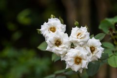 Rose blanche, également appelée hybrida de Rosa est employée dans la science Fleur belle Photos stock